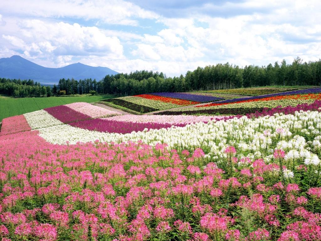 ảnh Cánh đồng Hoa Nhiều Màu Sắc