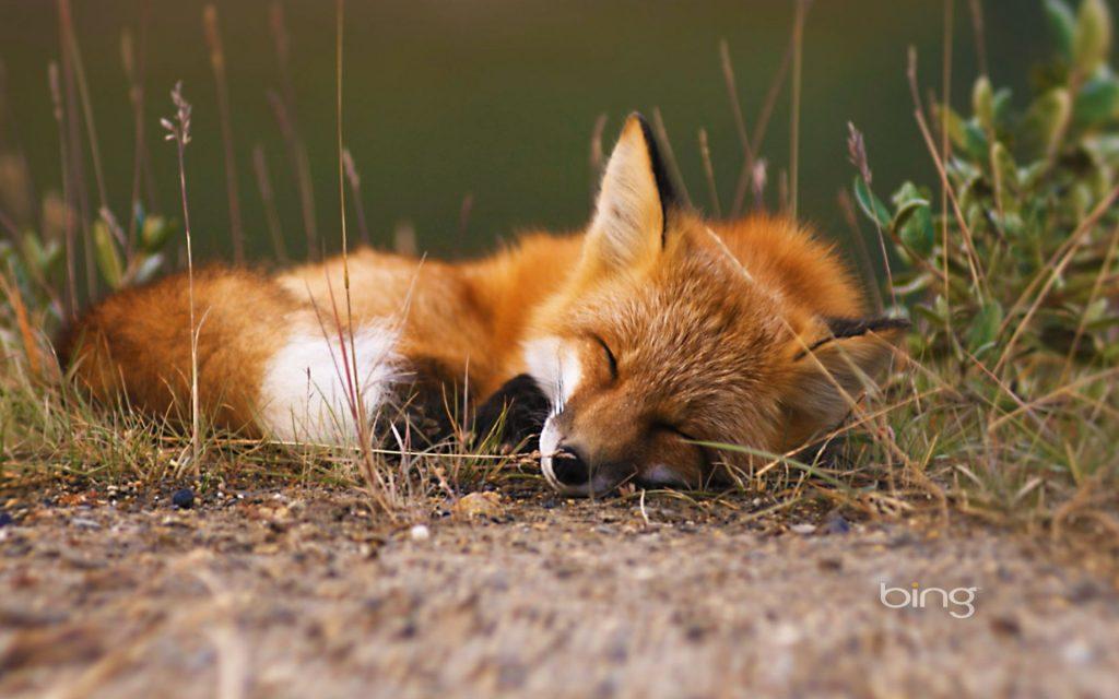 ảnh Con Cáo đang Ngủ