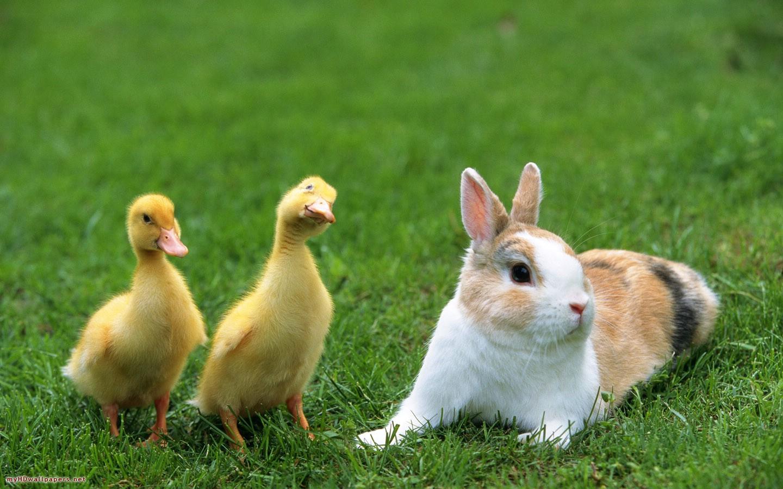 2 Chú Vịt Và Con Thỏ đáng Yêu