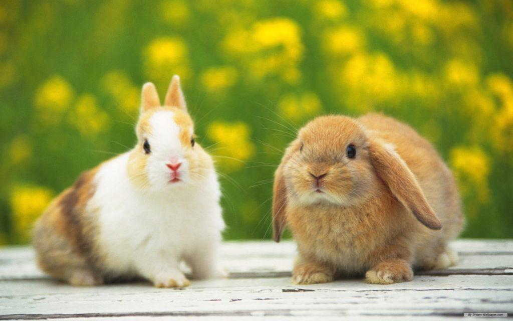 2 Con Thỏ Cute