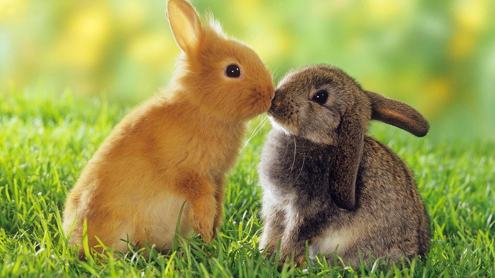 2 Con Thỏ Thơm Nhau