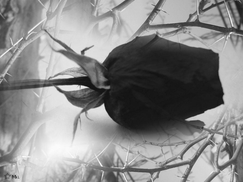 Bông Hồng đen