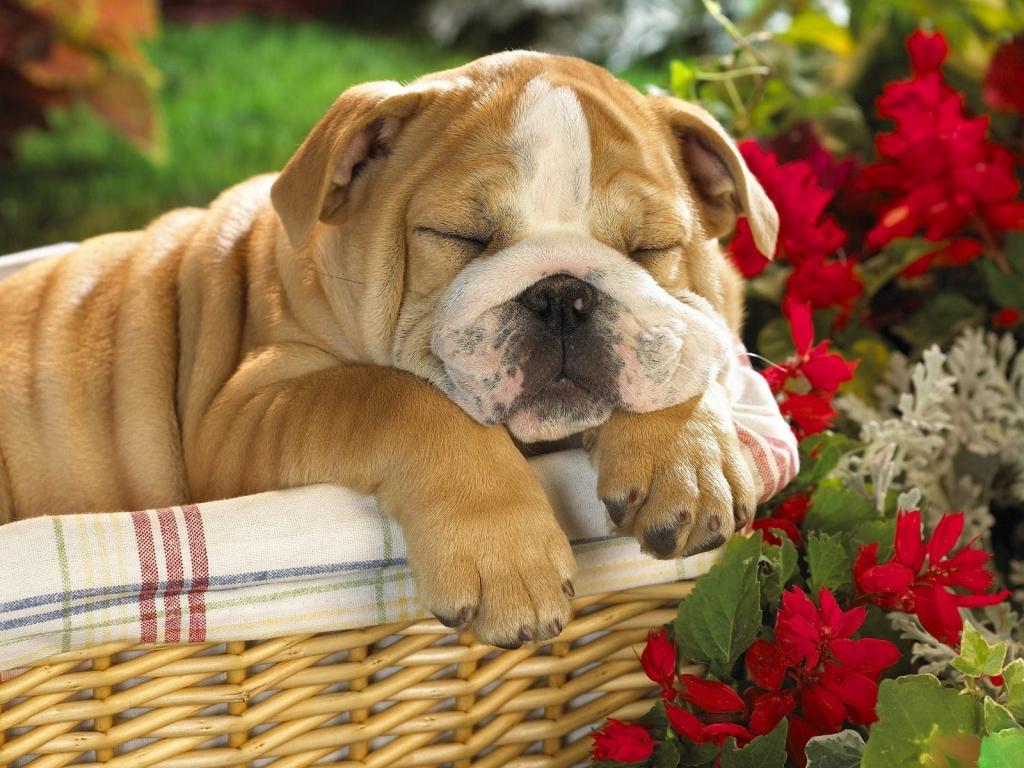Hình Nền Chó Bulldog đang Ngủ