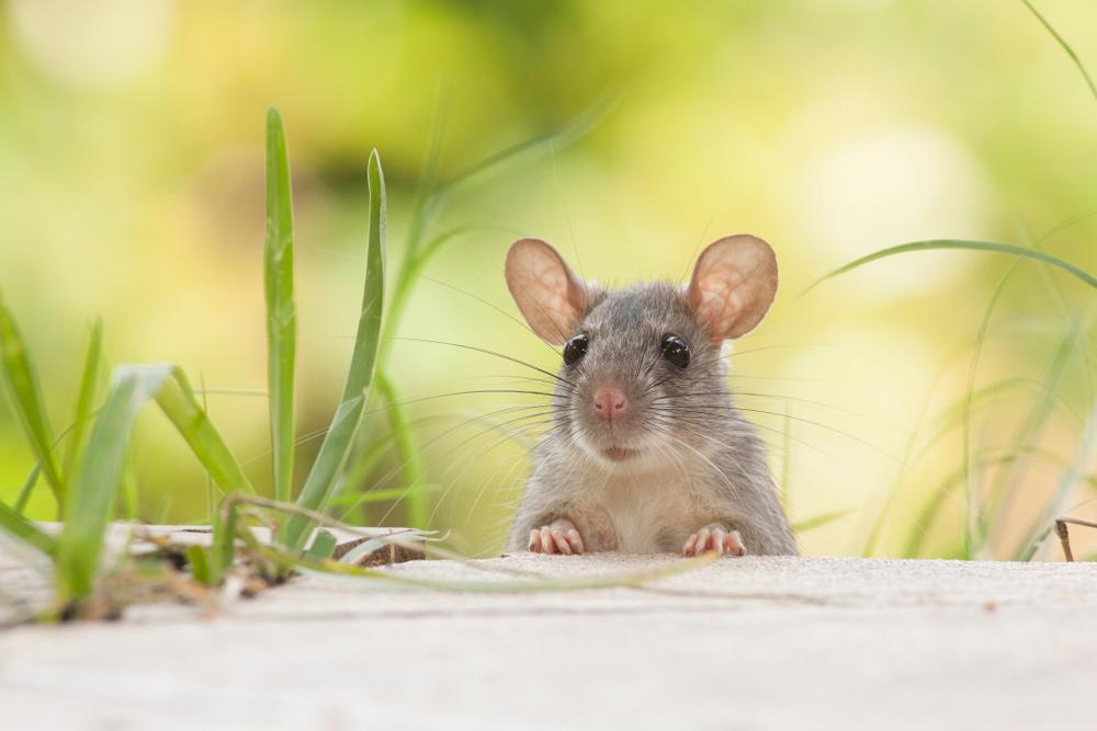 ảnh Con Chuột
