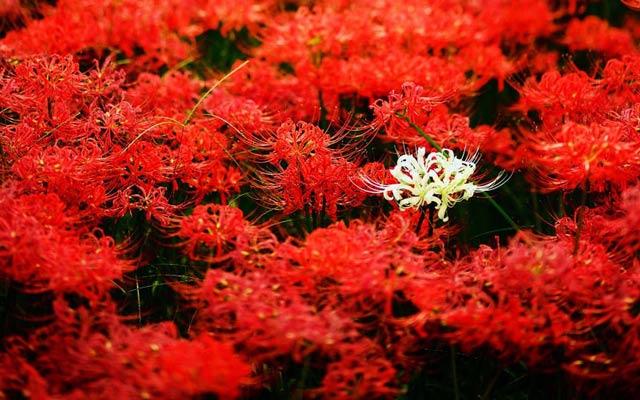 Tổng Hợp Những Hình ảnh Hoa Bỉ Ngạn đẹp Nhất (18)