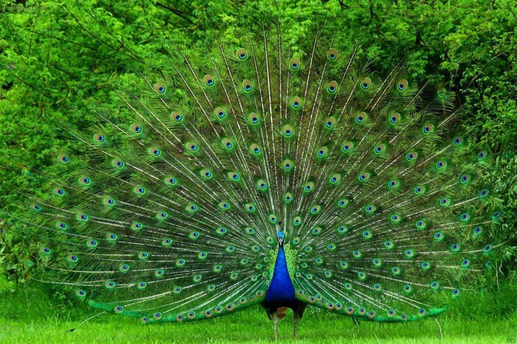 Chim Công đẹp