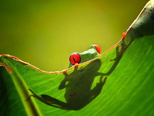 Con ếch Trên Tàu Lá Cây