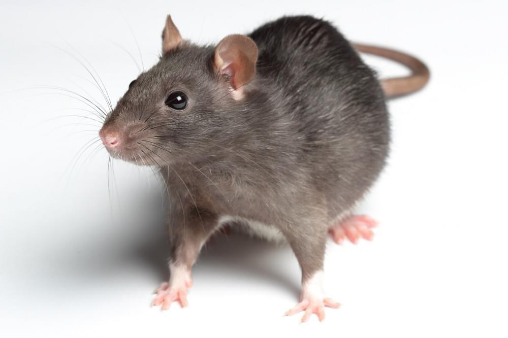 Hình ảnh Con Chuột đẹp