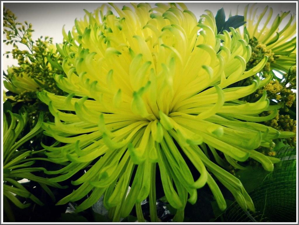 Hình Nền Hoa Cúc Xanh đẹp Nhất