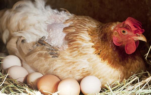ảnh Con Gà Mẹ ấp Trứng