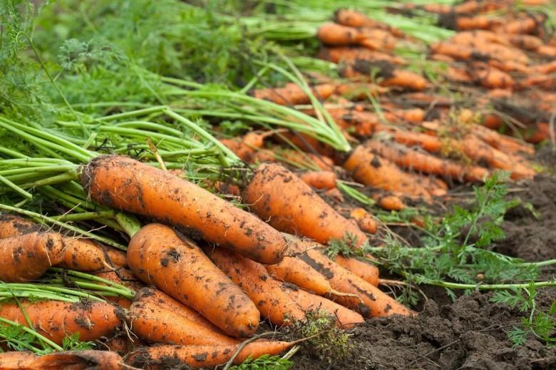 Ảnh về cà rốt