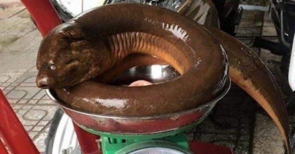 Con Lươn Nặng 1,6 Kg ở Nghệ An