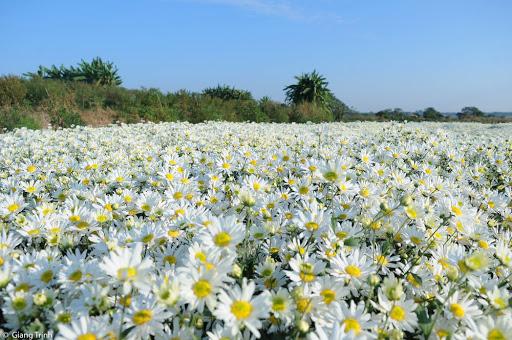 Hình ảnh Hoa Cúc Họa Mi