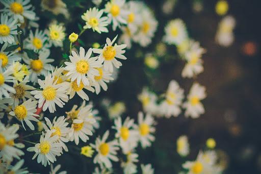 Hình Ảnh Những Bông Hoa Cúc Buồn Ấn Tượng