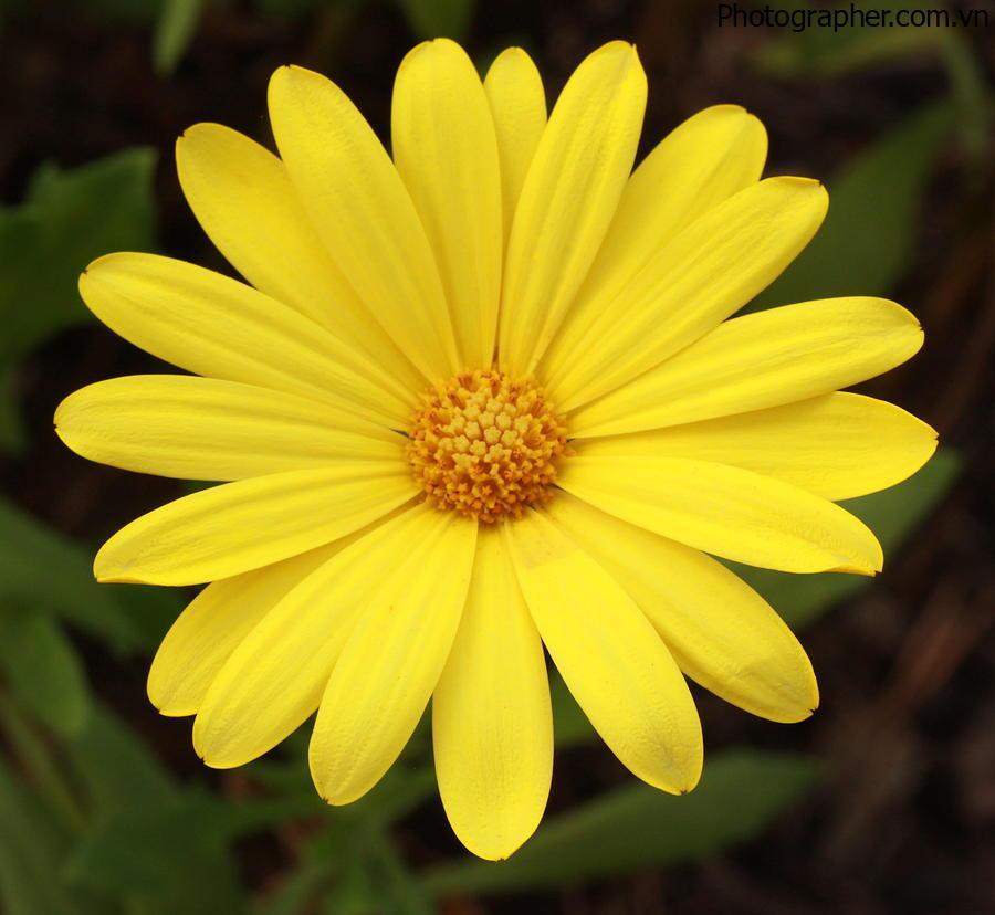 Hình ảnh Hoa Cúc Vàng