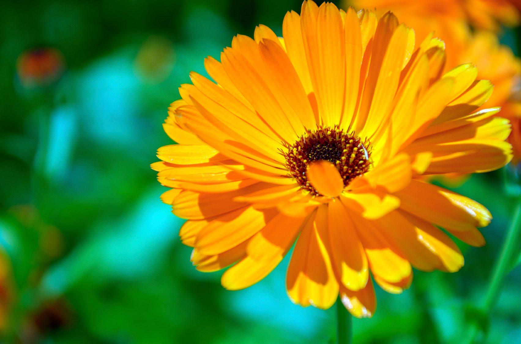 Hình ảnh Hoa Cúc Vàng Siêu đẹp