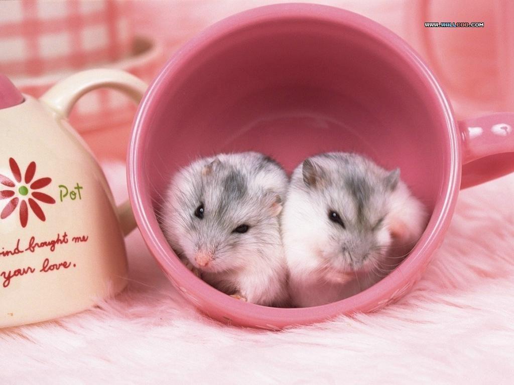 Hình Chuột Hamster Cute đẹp