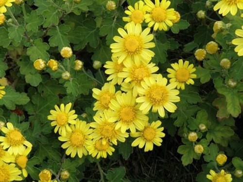 Hình Hoa Cúc Vàng